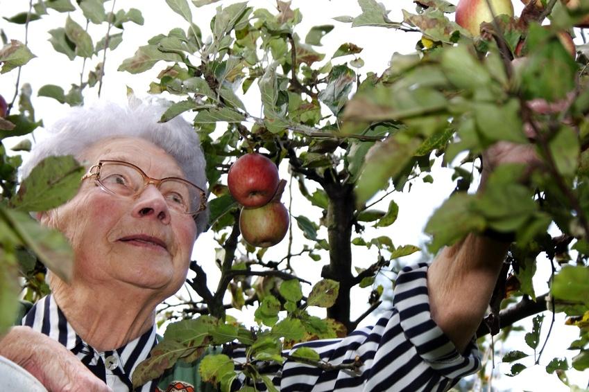 Ältere Dame beim Apfelpflücken