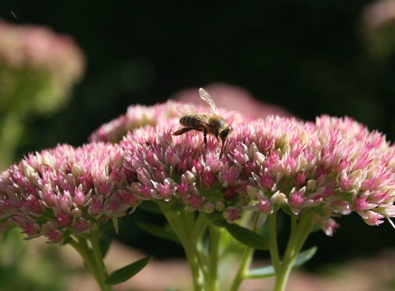 Eine Biene sitzt auf einer rosa Blüte